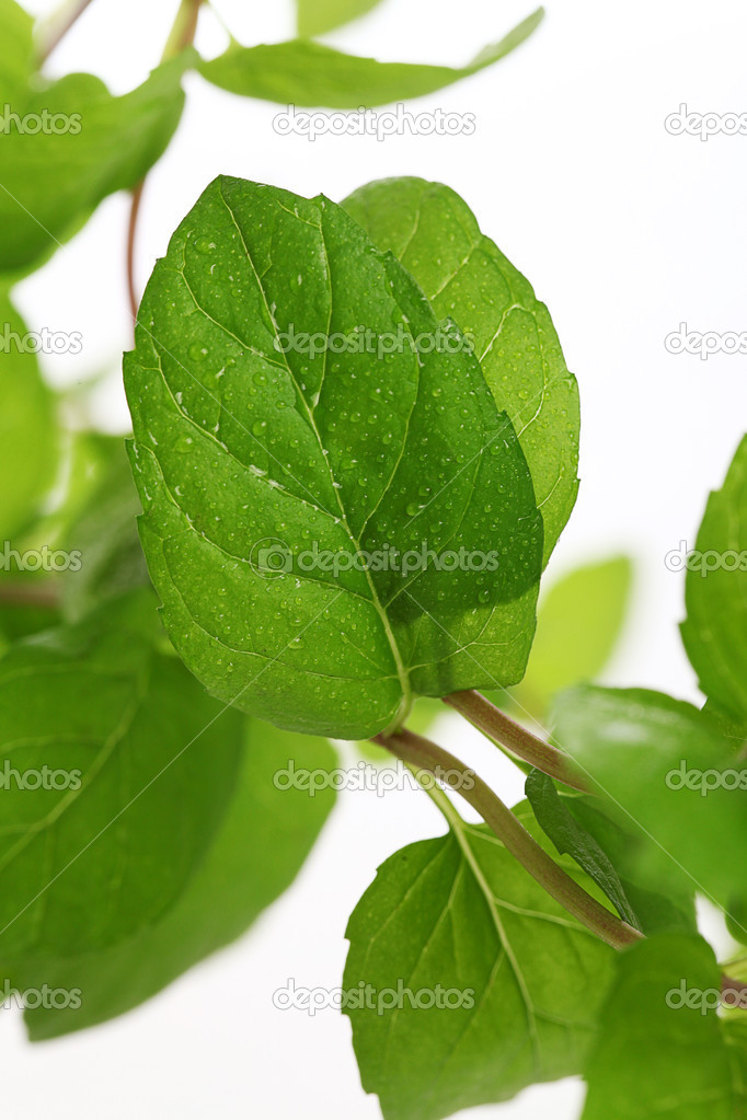 Close up of fresh natural mint over a white background  Stock Photo #16851797