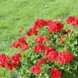 Geranium bushes — Stockfoto
