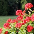 Geranium bushes — Foto de Stock