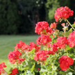 Stock Photo: Geranium bushes