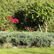 Geranium bushes — Stock Photo