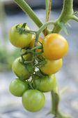 несколько зеленые и желтые помидоры — Стоковое фото
