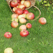 Apples on the grass — Stock Photo #31728277