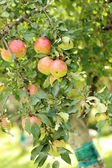 Apples on a tree — Stock Photo