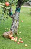 Jablka na trávě — Stock fotografie