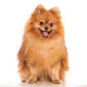 Adorable furry spitz — Stock Photo