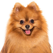 Adorable furry spitz — Stock Photo