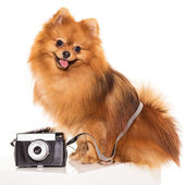 Cute spitz with camera — Stock Photo