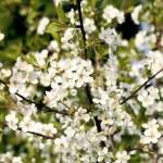 Beautiful blooming cherry tree — Stock Photo