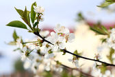 Beautiful blooming cherry tree — Stock Photo