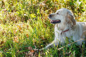 Golden retriever lying in grass — Stock Photo