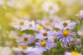 Piękne kwiaty daisy michaelmas — Zdjęcie stockowe