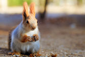 Beautiful red squirrel — Stock Photo