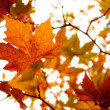 Stock Photo: Autumnal reds leaves