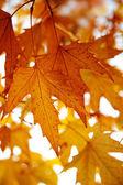 Hojas rojas de otoño en los árboles — Foto de Stock