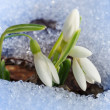Beautiful first snowdrops - Stock Photo