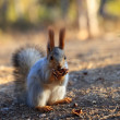 Beautiful red squirrel — Stock Photo #16258305