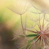 Seeds of a dandelion closeup — 图库照片