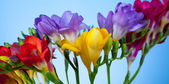 Beautiful flowers of freesia — Stock Photo