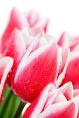 Tulips with water drops — Stock Photo