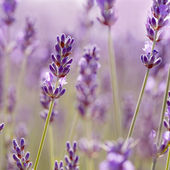 Branches of flowering lavender. — 图库照片