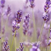 Ramos de flores de lavanda. — Foto Stock
