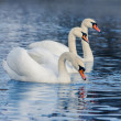 Floating in the water swans - Stock Photo