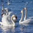 White swans floating on the water — Stock Photo #21457439