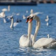 White swans floating on the water — Stock Photo