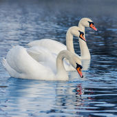 Floating in the water swans — Stock Photo