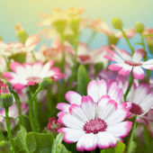 Flowers marguerites — Foto Stock