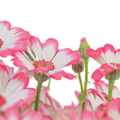 Beautiful flowers marguerites — Stock Photo