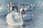 Vita svanar flyter på vattnet — Stockfoto