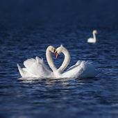 łabędź miłości — Zdjęcie stockowe