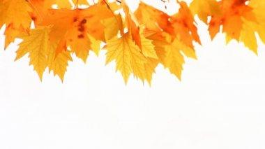 赤い秋のカエデを葉します。 — ストックビデオ