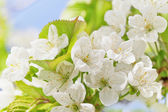 Cherry blossoms with green leaves — Stock Photo