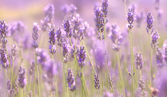 Branches of flowering lavender — Stock Photo