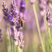 Sprigs of lavender and bee — Stock Photo