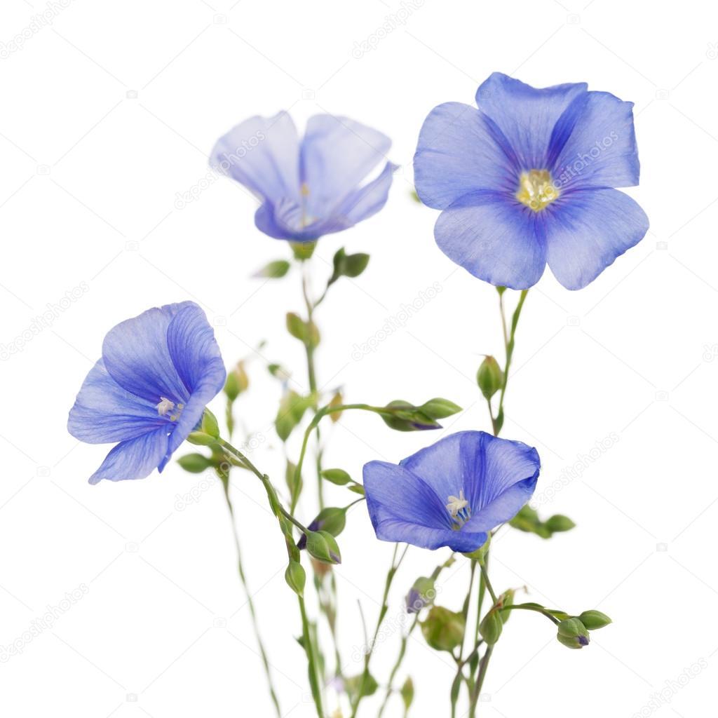 лен фото цветов