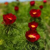 Red mountain peonies — Stock Photo