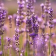 Stock Photo: Branches of flowering lavender