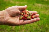 Lesní jahody v ruce — Stock fotografie