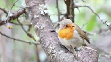 Beautiful bird European Robin — Stock Video