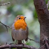 Bird European Robin — Stock Photo