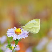 Butterfly on a blue flower — Stock Photo