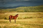 Brown stallion — Stock Photo