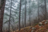 Pine trees in the fog — Foto Stock