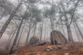 Pine trees in the fog — Stock Photo