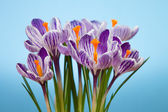 Crocus flowers  — Foto de Stock