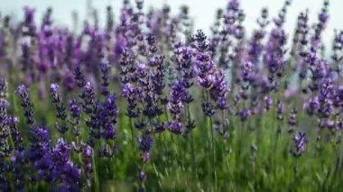 Lavender flowers field — Stock Video